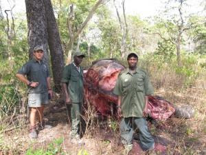 Poen, Gorchie and Albino with the carcass of an old bull elephant.  Though they were able to track the team of poachers, it readily became apparent from the age of their tracks that they had already made their escape.