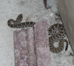 Safe Havens Adjunct Analyst Steve Satterly encountered this rattlesnake during a school safety assessment in Texas this week. Safe Havens clients have reported concerns ranging from Mountain Lions, Alaskan Brown bears and even aggressive eagles over the years.  Like other types of hazards, potentially dangerous animals can be mitigated with appropriate responses.